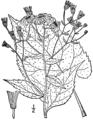 Eurybia macrophylla BB-1913-3.png