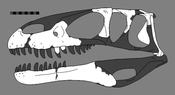 Eustreptospondylus reconstructed skull