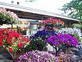 Exposición Bonsai 2008 Feria de Flores-07.JPG