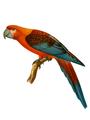 Extinctbirds1907 P10 Ara tricolor0301 1.png