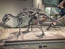 FMNH Maiasaura fossil skeleton.jpg