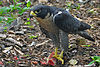 Falco peregrinus -Nova Scotia, Canada -eating-8.jpg