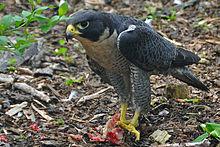 external image 220px-Falco_peregrinus_-Nova_Scotia,_Canada_-eating-8.jpg