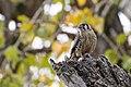 Falco sparverius (44317762084).jpg