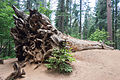 Fallen sequoia in Tuolumne Grove.jpg