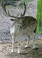 Fallow Deer 1 (2761796697).jpg