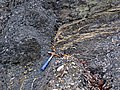 Fault in Pottsville Group siliciclastics (Irish Ridge East roadcut, near Trinway, Ohio, USA) 5 (24510747358).jpg