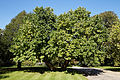 Feeringbury Manor split double trunk tree, Feering Essex England 2.jpg