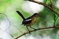 Female Magpie Robin.jpg