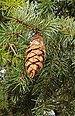Common Douglas-Fir - Photo (c) Richard Avery, some rights reserved (CC BY-SA)