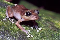 Female guajon frog on tree.jpg