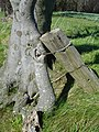 Fence wire grown into beech tree - geograph.org.uk - 364812.jpg