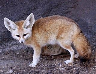 Fennec fox small crepuscular animals