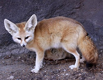 Fennec fox - Fennec fox at Virginia Zoological Park, Norfolk, Virginia