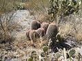 Ferocactus pilosus (5711005156).jpg