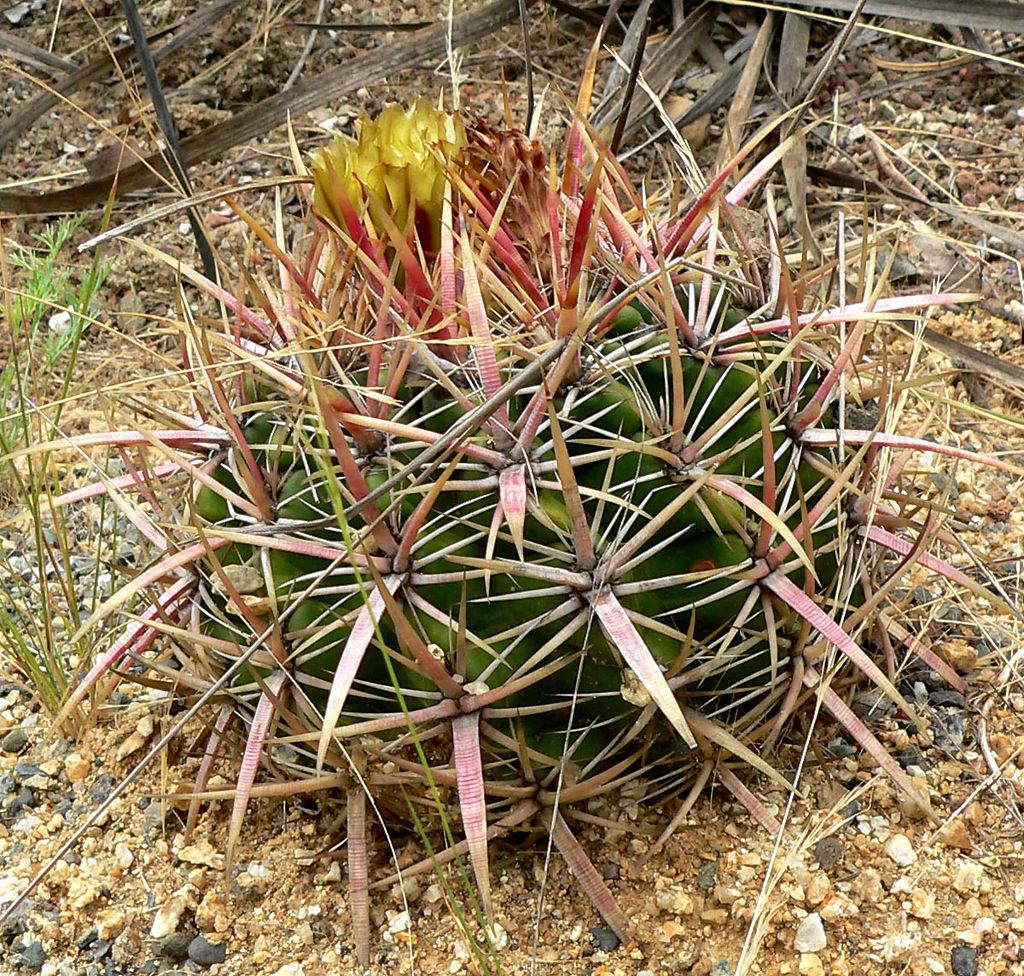 San Diego Barrelcactus (Ferocactus viridescens)