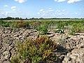 Fertile mud - geograph.org.uk - 947108.jpg