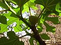 Ficus canico 1 hatem moushir.JPG