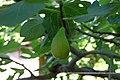 Ficus carica Crimea.jpg