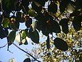 Ficus drupacea (8365361872).jpg