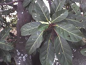 Ficus lutea leaves.jpg