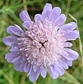 Field scabious - Knautia arvensis - geograph.org.uk - 910162.jpg