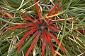 Fiery Red Plant, 2nd - unfocused shot - panoramio.jpg