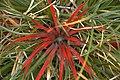 Fiery Red Plant, 2nd - unfocused shot - panoramio.jpg