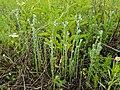 Filago vulgaris sl235.jpg