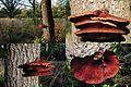 Fistulina hepatica (GB= Beefsteak polypore fungus or Ox Tongue, D= Leberreischling, auch Leberpilz oder Ochsenzunge, F= Langue de bœuf, NL= Biefstukzwam) in 3 layers at an dead Oak at NP Hoge Veluwe - panoramio.jpg
