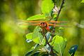 Flame Skimmer (Libellula saturata) dragonfly.jpg
