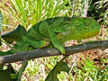 Flap-neck Chameleon (Chamaeleo dilepis) (17975643590).jpg