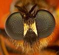 Flickr - Lukjonis - Robber Fly - Asilidae (Portrait)3.jpg