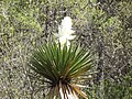 Flor de Palma Entre los llanos y Sierra Hermosa, Coahuila - panoramio.jpg