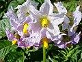 Flor de batateira (297654407).jpg