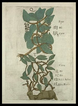 """Three Corpses - Illustration of hújiāo 胡椒 """"Piper nigrum, black pepper"""" and fúlíng 茯苓 """"Wolfiporia extensa, China-root fungus"""", from Michael Boym's (1656) Flora Sinensis."""