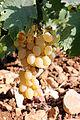 Flora of Israel IMG 3312 (12620305795).jpg