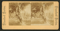 Florida. Palm Beach. A bunch of cocoanuts, from Robert N. Dennis collection of stereoscopic views.png