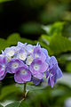 "Flower, Hydrangea ""Deutsch Land"" - Flickr - nekonomania.jpg"