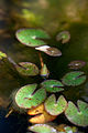 Flower, Pygmy water lily - Flickr - nekonomania.jpg