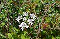 Flower 4 @ Langtang National Park.jpg