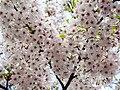 Flower viewing custom, Japan; April 2014 (06).jpg