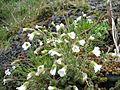 Flower white 01 (1408209052).jpg