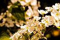 Flowers Nepal 10234.JPG
