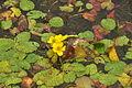 Flowers in Cosmeston Lakes Country Park (4701).jpg