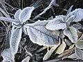 Folhas com geada.jpg