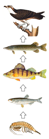 Food Chain Wikipedia