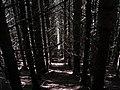 Forestry at Moel Maes-y-wern-goch - geograph.org.uk - 229950.jpg