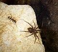 Formica species worker ant chasing spider (44989332354).jpg