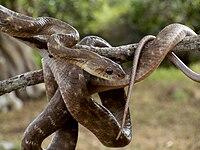 Forsten's Cat Snake At Yala.jpg